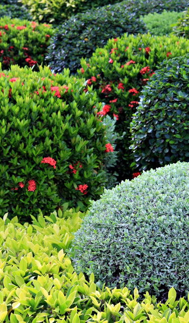 Vivero de arbustos ornamentales vivero santa barbara for Arbustos ornamentales de exterior
